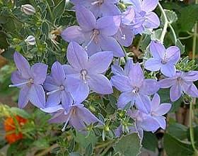 колокольчик равнолистный (Campanula isophylla), фото, фотография с http://www.hodnik.com/, цветы растения