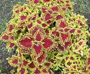колеус Блюма (Coleus blumei), фото фотография www.zooclub.ru - Индонезия, о. Бали, цветы растения