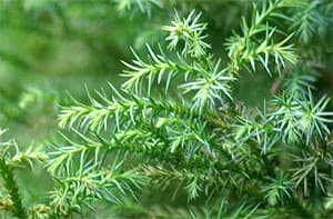 криптомерия японская (Cryptomeria japonica), фото, фотография с http://www.botanypictures.com/, by Antonie van den bos, цветы растения
