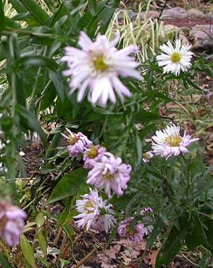 астра многолетняя белая, фото, фотография