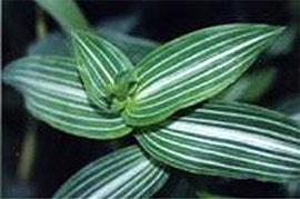 каллизия изящная (Callisia elegans), фото фотография с http://www.glasshouseworks.com/, цветы растения