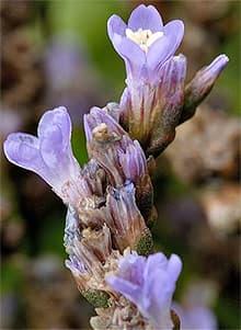 кермек, лимониум, статица (Limonium vulgare), фото, фотография с http://www.floralimages.co.uk/, цветы растения