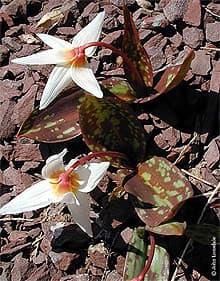 кандык кавказский (Erythronium caucasicum), фото фотография с pacificbulbsociety.org, цветы растения