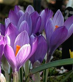 крокус весенний (Crocus vernus), фото фотография с http://www.marksgardenplants.com/, цветы растения