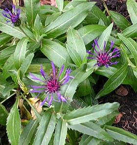 Васильки садовые фото цветов - 4c57