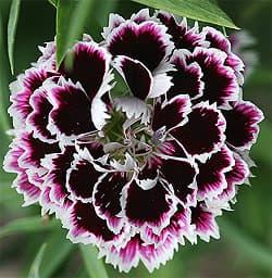 цветки гвоздики от паразитов