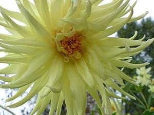 георгин (Dahlia), фото фотография www.zooclub.ru, цветы растения