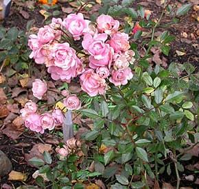 розовая роза, фото, фотография