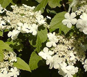 калина обыкновенная (Viburnum opulus), фото фотография www.zooclub.ru, цветы растения