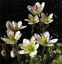 cаксифрага моховидная (Saxifraga muscoides), фото фотография с http://www.landschaftsfotos.at/, растения цветы