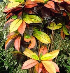 кодиеум пестрый, кодиеум изменчивый (Codiaeum variegatum), фото, фотография с http://images.mooseyscountrygarden.com/, цветы растения