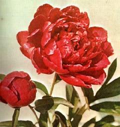 пион (Paeonia), фото, фотография