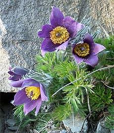 прострел Халлера (Pulsatilla halleri), фото, фотография с http://www.alpinissimum.de/