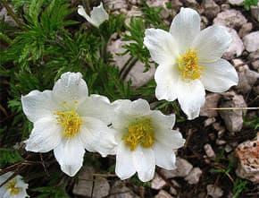 прострел альпийский, сон-трава (Pulsatilla alpina), фото, фотография с picasaweb.google.com