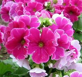 примула обконика (Primula obconica), фото, фотография с