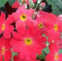 примула нежная (Primula malacoides), фото, фотография с http://www.jungleseeds.com/
