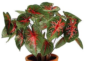 каладиум двуцветный (Caladium bicolor), фото, фотография с http://www.dkimages.com