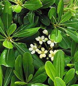 питтоспорум Тобира (Pittosporum tobira), фото, фотография с http://www.jamesdeandesign.com/