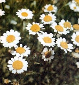 фото разновидности хризантем
