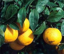 Апельсин цитрус китайский citrus sinensis апельсин  Апельсин citrus sinensis