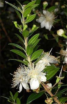 Мирт обыкновенный обыкновенный мирт myrtus communis  Мирт обыкновенный myrtus communis