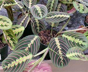 маранта беложильчатая (Maranta leuconeura), фото, фотография с http://cvetq.info/