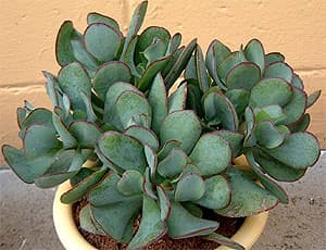 толстянка древовидная (Crassula arborescens), фото, фотография с home-and-garden.webshots.com