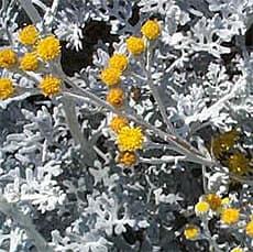 цинерария приморская (Cineraria maritima), фото, фотография с http://thierry.jouet.free.fr/