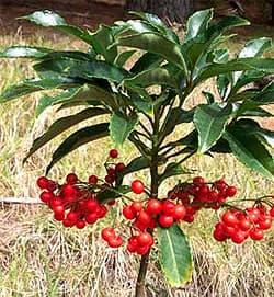 Ардизия городчатая ардизия ardisia crenata вечнозеленый  Ардизия городчатая ardisia crenata