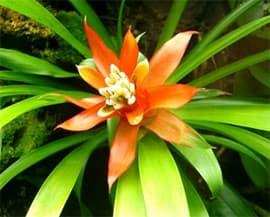 бромелии (Bromelia), фото, фотография с www.poison-frogs.nl