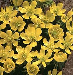 Весенник сибирский весенник shibateranthis eranthis sibirica  Весенник сибирский shibateranthis sibirica eranthis sibirica
