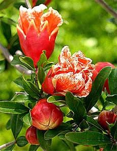 гранат обыкновенный карликовый (Punica granatum nana), фото, фотография с http://www.jamesdeandesign.com/