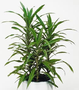 драцена деремская (Dracaena deremensis), фото, фотография с http://www.wsindoorplants.com.au/, растения цветы
