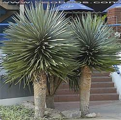 драцена Канарская (Dracaena draco), фото, фотография с http://www.seedsplants.com/, растения цветы