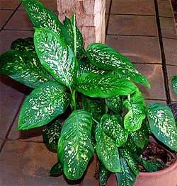 диффенбахия пятнистая (Dieffenbachia maculata), фото, фотография с flickr.com, растения цветы