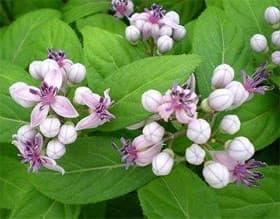 дихройя противолихорадочная (Dichroa febrifuga), фото, фотография с www.youngbloodnursery.com, растения цветы