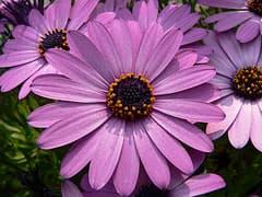 диморфотека дождевая (Dimorphoteca pluvialis), фото фотография с www.flickr.com, растения цветы