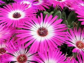 доротеантус маргаритковидный (Dorotheanthus bellidiformis), фото, фотография с www.botanic.jp, растения цветы