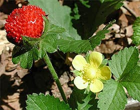 дюшенея индийская (Duchesnea indica), фото фотография с www.ruhr-uni-bochum.de, растения цветы