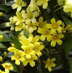 жасмин низкий (Jasminum humile), фото фотография с http://www.tropicamente.it/, растения цветы