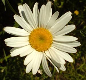 ромашка белая, нивяник обыкновенный, поповник (Leucanthemum vulgare), фото фотография www.zooclub.ru, растения цветы