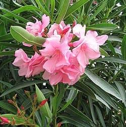 олеандр обыкновенный (Nerium oleander), фото, фотография с forum.zira3a.net