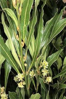 лавр благородный (Laurus nobilis), фото, фотография с www.rcplondon.ac.uk