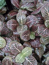 фиттония Вершаффельта (Fittonia verschaffeltii), фото, фотография с es.gardening.eu