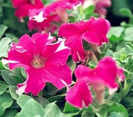 петуния садовая (Petunia hybrida), фото, фотография с http://www.hermansgallery.com/