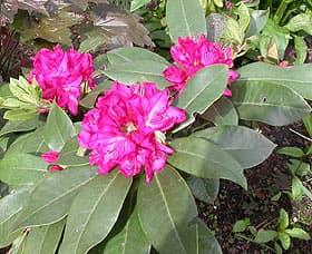 рододендрон альпенроз, фото, фотография