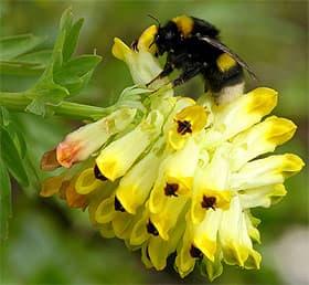 хохлатка благородная (Corydalis nobilis), фото, фотография с www.funet.fi