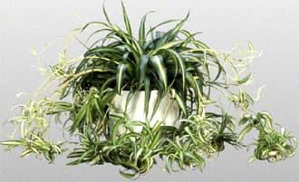 комнатные растения аглаонема.