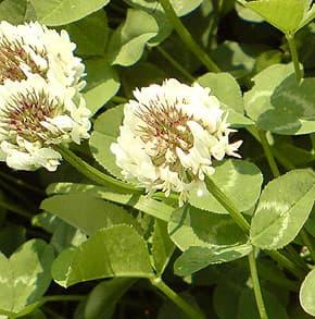 клевер белый (Trifolium repens), фото, фотография www.zooclub.ru