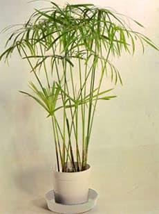 Циперус очереднолистный папирус cyperus